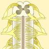 Estructura de la médula espinal